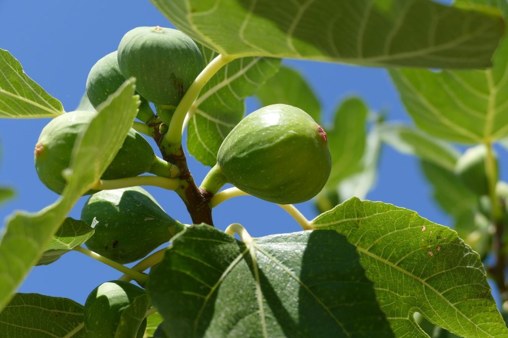 Smokve – bilje skromnih zahtjeva i ukusnih plodova